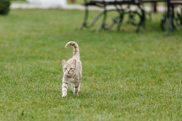 Gato vermelho com manchas brancas, andando na grama verde