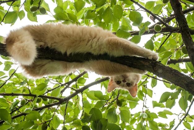 Gato vermelho deitado em um galho de árvore olhando para baixo