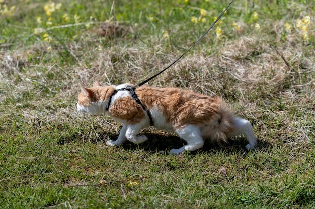 Gato vermelho em uma trela andando em uma grama.