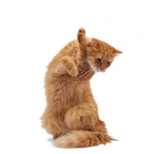 Gato vermelho fofo adulto sentado e levantou as patas dianteiras, imitando segurar qualquer objeto