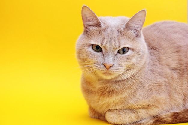 Gato vermelho isolado em um fundo amarelo