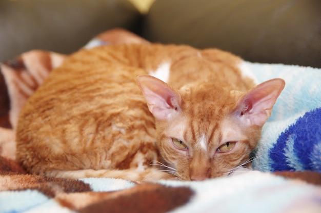Gato vermelho listrado cornish rex deitado em um sofá.