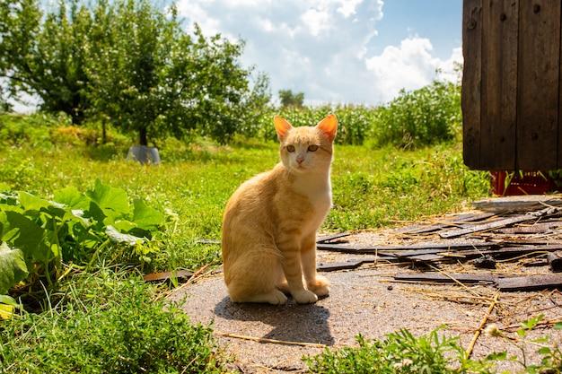 Gato vermelho no pátio da casa na vila. gato vermelho caminha verão ao ar livre.