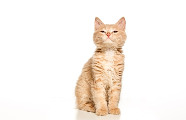 Gato vermelho ou branco sobre fundo branco do estúdio