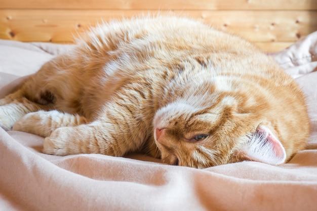 Gato vermelho que encontra-se em um cobertor. fechar-se