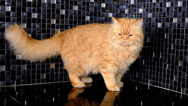 Gato vermelho scottish fold no piso da cozinha