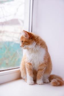 Gato vermelho senta-se na janela e olha pela janela