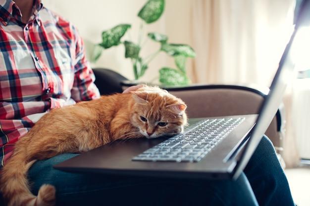 Gato vermelho senta-se nas mãos de um freelancer perto do laptop