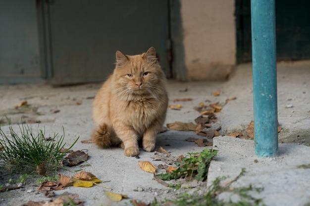 Gato vermelho senta-se no chão