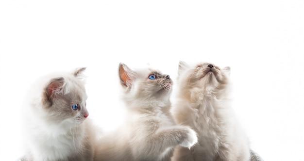Gatos adoráveis no fundo branco isolado