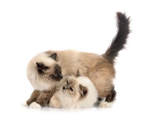 Gatos birmaneses na frente de um fundo branco