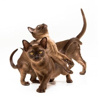Gatos da raça birmânia em um fundo branco