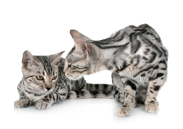 Gatos de bengala em estúdio