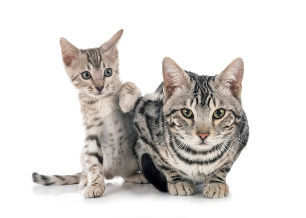 Gatos de bengala isolados