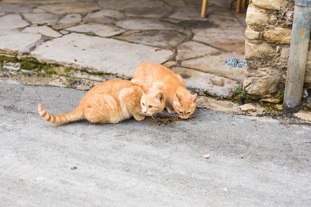 Gatos de rua comendo comida - conceito de animais sem-teto.
