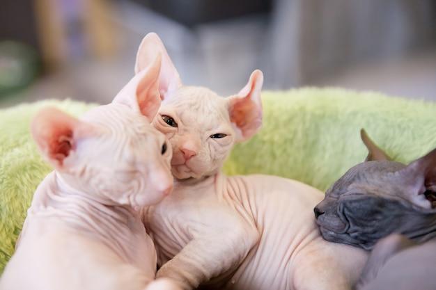 Gatos don sphinx brancos e cinza com dois meses de idade no tapete de pele verde claro