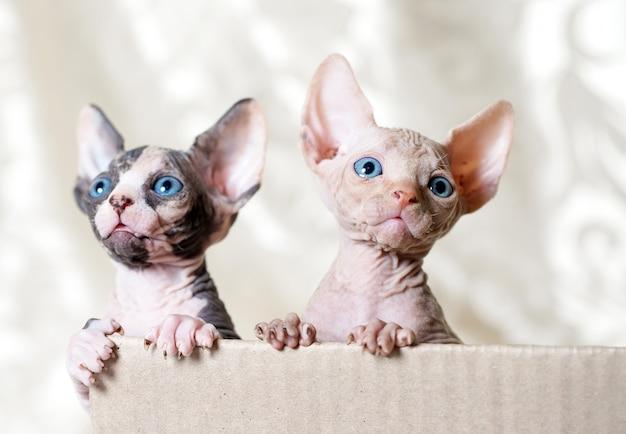 Gatos esfinge sem pêlos.