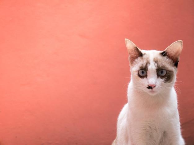 Gatos estão mostrando gestos.e olhe para a câmera. com fundo cor-de-rosa da cor da parede alaranjada.