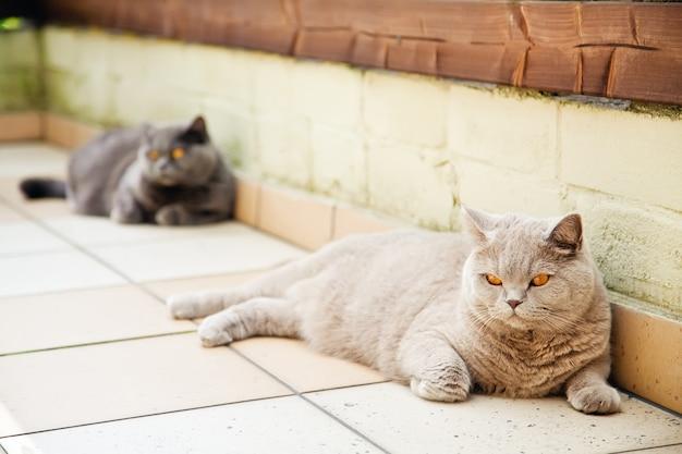 Gatos fofos britânicos de pelo curto com olhos laranja