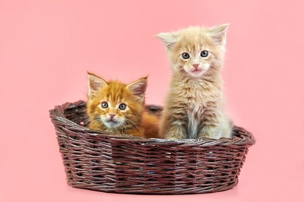 Gatos maine coon isolados em rosa