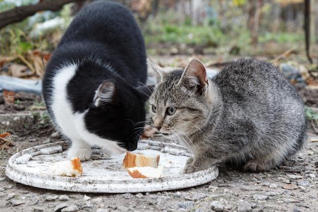 Gatos malhados cinzentos e pretos estão comendo ao ar livre com o plano de fundo da natureza. profundidade de retrato de campo rasa.