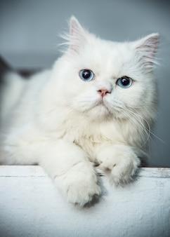 Gatos persas de olhos brancos e azuis