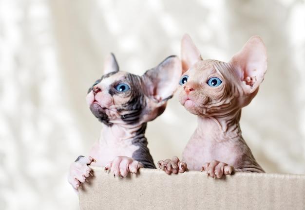 Gatos sem pêlos esfinge.