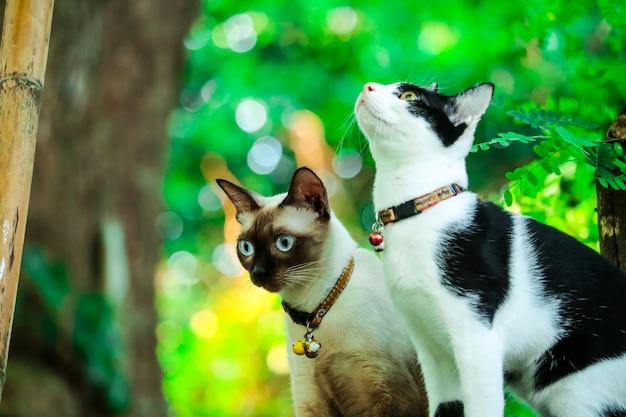 Gatos siameses escalam árvores para capturar esquilos. mas não pode descer