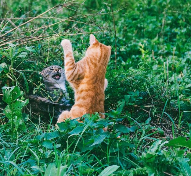 Gatos vermelhos e cinza brincam, brincam e lutam ao ar livre