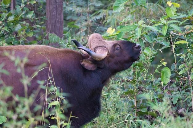 Gaur ou bisonte indiano