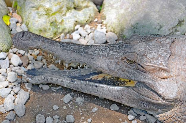 Gavial de jacaré de crocodilo fica com a mandíbula aberta ao sol