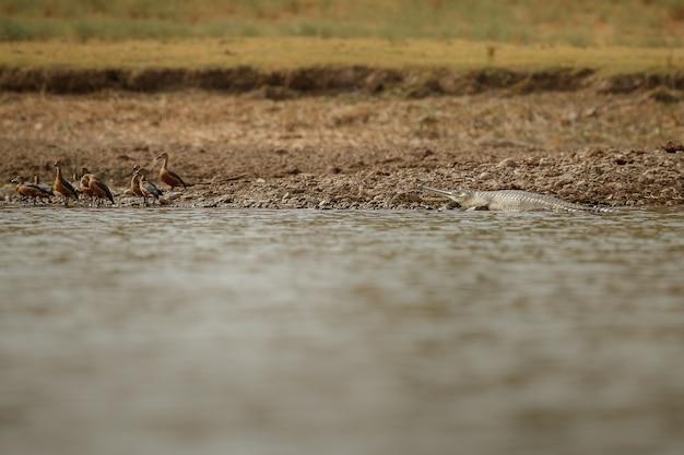 Gavial indiano no santuário natural do rio chambal