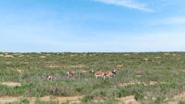 Gazela bócio jeyran em campo. reserva natural de vida selvagem