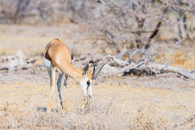 Gazela pastando no mato. safari da vida selvagem no parque nacional etosha, famoso destino de viagem na namíbia, áfrica.