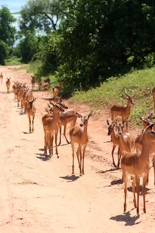 Gazelas na áfrica