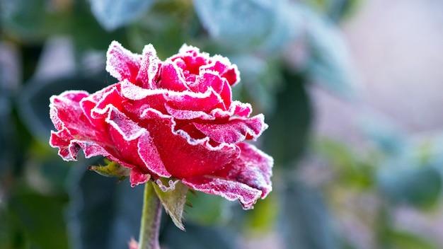 Geada branca em uma rosa vermelha com um fundo desfocado