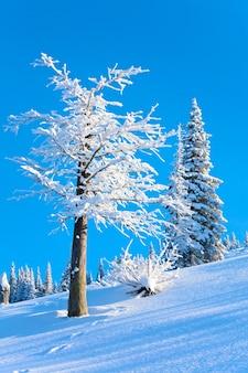 Geada de inverno e pinheiros cobertos de neve na encosta da montanha no fundo do céu azul