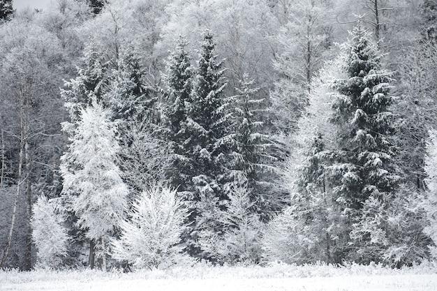 Geada nas árvores na borda da floresta