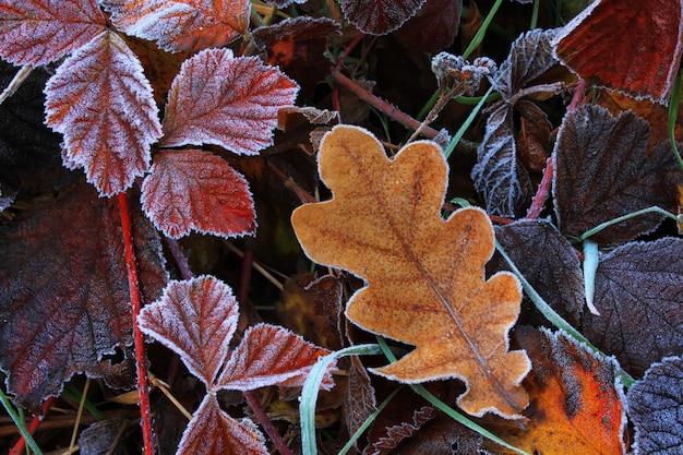 Geada nas folhas no amanhecer frio de outono