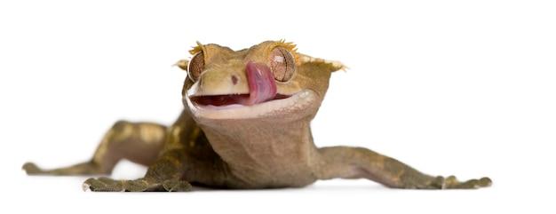 Gecko com crista da nova caledônia - rhacodactylus ciliatus