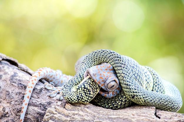 Gecko de matar cobra verde