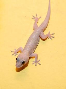 Gecko doméstico na parede da casa.