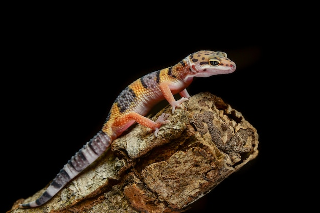Gecko leopardo em um galho closeup
