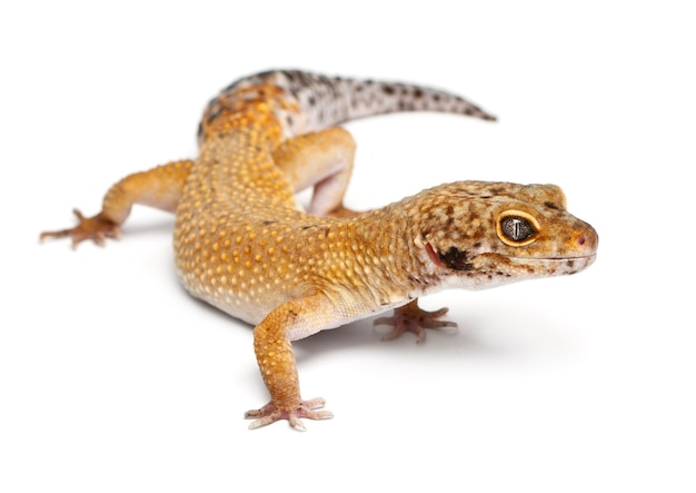 Gecko leopardo hipomelanístico, eublepharis macularius, na frente de um fundo branco