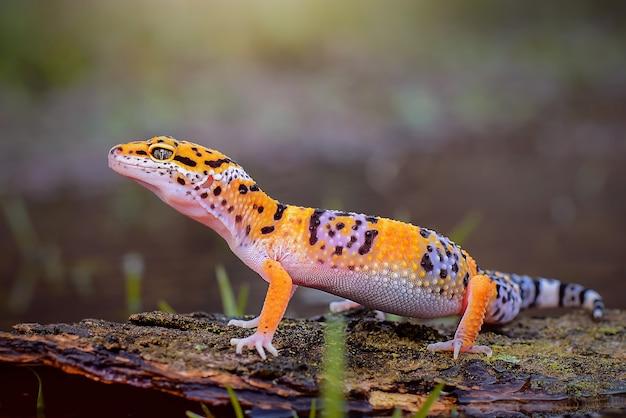 Gecko leopardo na madeira em um lago de floresta tropical