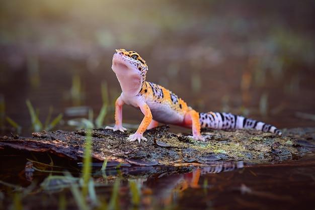 Gecko leopardo na madeira em uma floresta tropical
