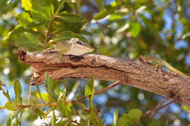 Gecko verde selvagem agradável na ilha de cayo blanco em cuba