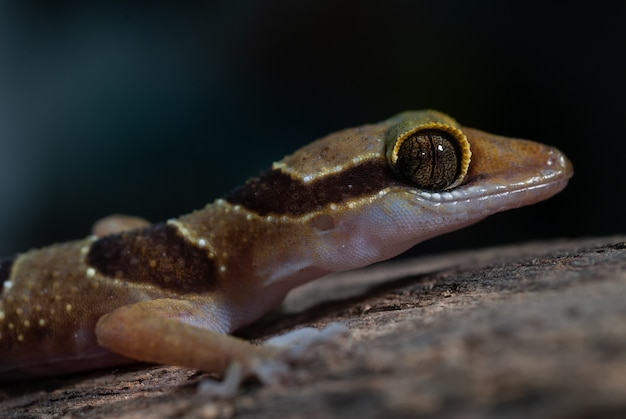 Geco-dedui-toed gecko: cyrtodactylus dumnui
