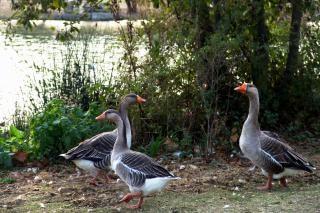 Geeses perto de um lago