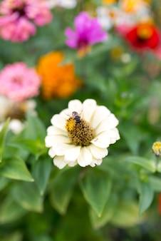 Gelenium outono helenium com abelha